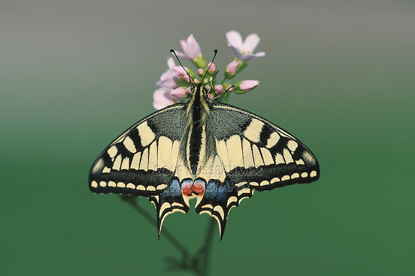 Old World Swallowtail (Papilio machaon), adult on flower, Switzerland