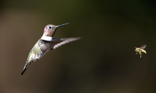 Anna's hummingbird (Calypte Anna) and honeybee (Apis mellifera) compete