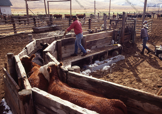 Photo of Cattle on a Ranch in Eastern Oregon going through a squeeze Chute or Shute.