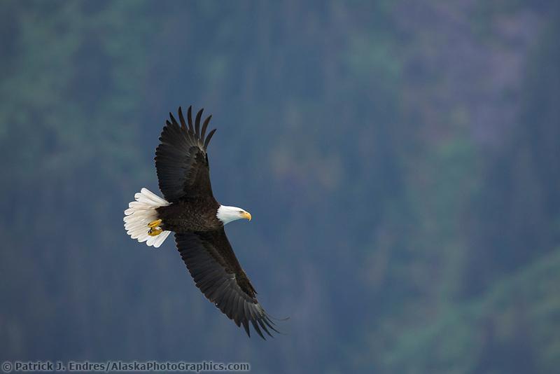 Bald Eagle in flight, Barry Arm, Prince William Sound, Alaska