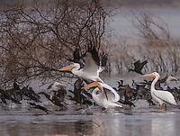 Pelicanos y patos