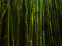 A pattern of bamboo tree trunks in the middle of the bamboo forest at Haleakala National Park, Maui.