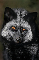 630779010 portrait of an adult wildlife rescue silver fox vulpes vulpes - introduced subspecies of red fox - introduced from europe - frick