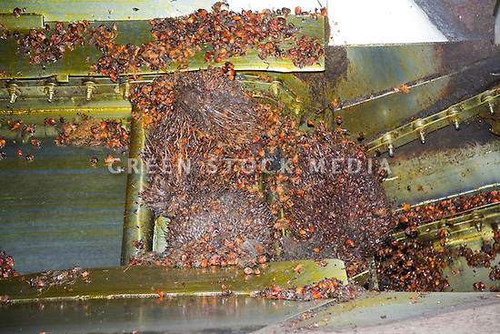 The steaming hot oil palm fresh fruit bunches (FFBs) are emptied out of the cooker. The Sindora Palm Oil Mill, owned by Kulim, is green certified by the Roundtable on Sustainable Palm Oil (RSPO) for its environmental, economic, and socially sustainable practices. Johor Bahru, Malaysia