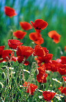 Klatsch-Mohn, Klatschmohn, Mohn, Papaver rhoeas, Corn Poppy, Field Poppy