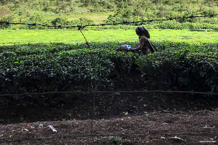 A tea leaf picker at work on the Kolukkumalai Tea Estate in Munnar, Kerala, India, June 13, 2017. It's about an hour ride by jeep up a bumpy steep winding road to reach the Kolukkumalai Tea Estate.  The estate, built in the 1930's, sits high on a ridge above the plains of Tamilnadu. At about 8,000 feet above sea level, this tea estate is the highest in the world. Kolukkumalai Tea Estate still uses the plants original machinery and processes the tea using traditional methods.  (Photo by Cheryl Senter)