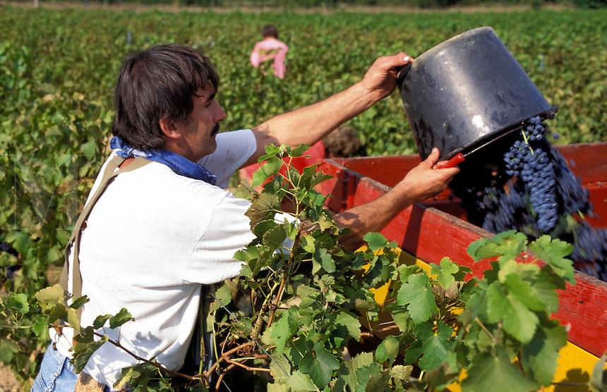 Grape picker loading trailer during the vendange near the village of Fayence, Var, in Provence, France