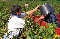 Grape picker loading trailer during the vendange near the village of Fayence, Var, in Provence, France