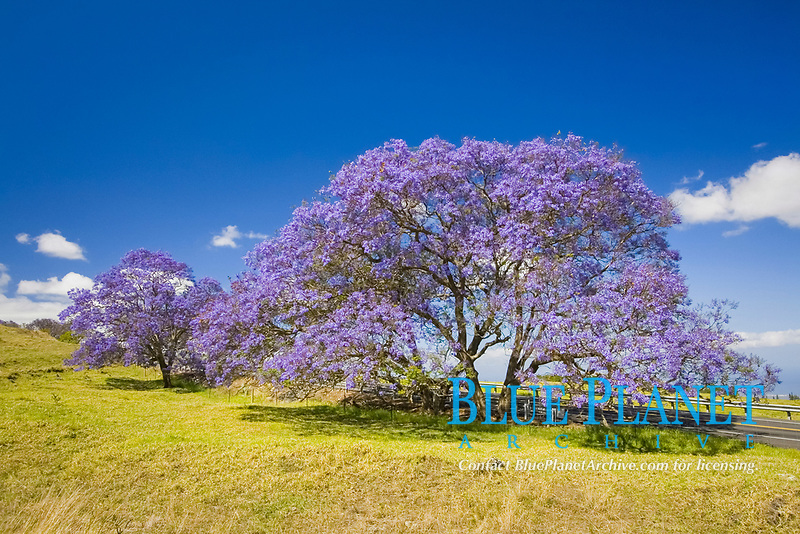 Lavender blossoms on a jacaranda tree, Jacaranda mimosifolia, in a field beside the road to Haleakala Crater on the island of Maui, Hawaii, USA