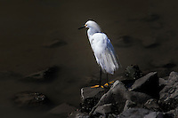A Snowy egret searches for food at the San Leandro Marina.