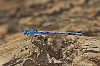 338430002 a wild male california dancer argia agrioides perches on a log along piru creek in los angeles couny california