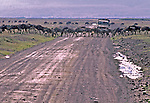 "Gnus /Wilderbeast crossing the main ""highway"" through the  Serengeti National Park.  Actually the animals were coming from the upper left behind the Safari vehicle and crossing back in front of it.  Why?"