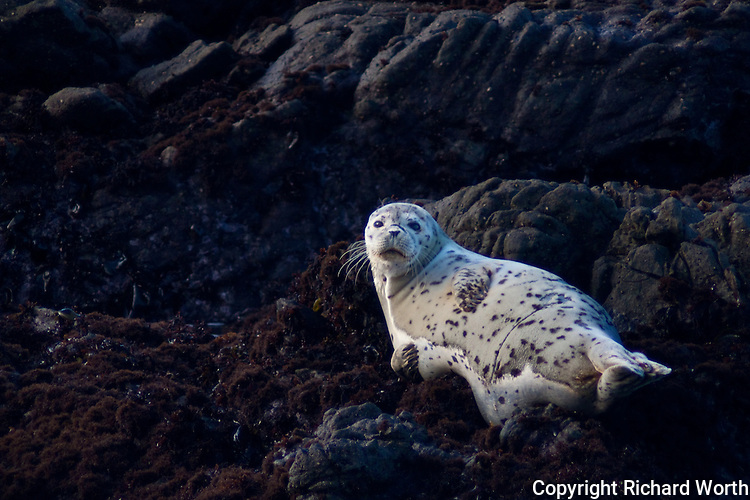 Lounging, but attentive - a harbor seal pup on the rocks off of Bean Hollow State Beach, California.