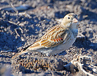 Male McCown's longspur in winter