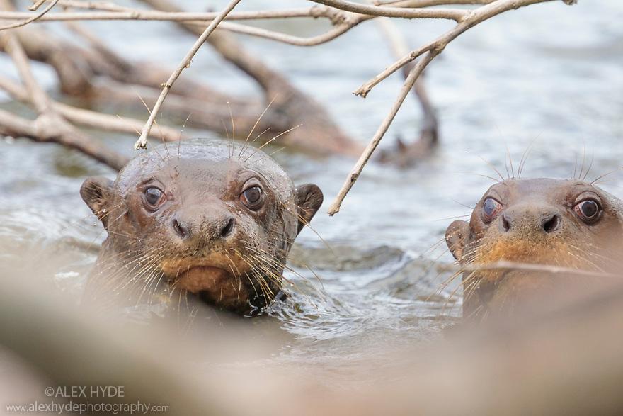Giant River Otters (Pteronura brasiliensis) Cocha Salvador ox-bow lake. Manu Biosphere Reserve, lowland Amazon rainforest, Peru. November.