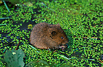 Water Vole (Arvicola terrestris) - Blean Woods, Kent  .United Kingdom.Mammals.P-MAM122-24.Robert Pickett.www.papiliophotos.com  Tel: +44 (0)1227 360996.PLEASE READ OUR LICENCE TERMS. ALL DIGITAL IMAGES MUST BE DESTROYED UNLESS OTHERWISE AGREED IN WRITING..