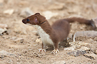 Weasels are predators of adult, young and eggs of owls.
