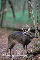 01982-01814 White-tailed Deer (Odocoileus virginianus) buck marking scent   TN