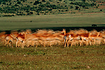 A single impala stands still as the herd moves on in Kenya's Maasai Mara National Reserve. The reserve is contiguous with the Serengeti National Park in Tanzania.
