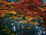Beautiful tranquil scenery at Tenjuan Temple Japanese pond garden with red and yellow maple trees in fall and Koi fish in the pond, Nanzen-ji temple complex in Kyoto, Japan Image © MaximImages, License at https://www.maximimages.com