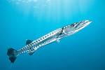 Beqa Lagoon, Pacific Harbor, Fiji; a Great Barracuda swimming in shallow blue water with light rays coming in from above