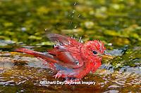 01528-00611 Summer Tanager (Piranga rubra) male bathing, Marion Co., IL