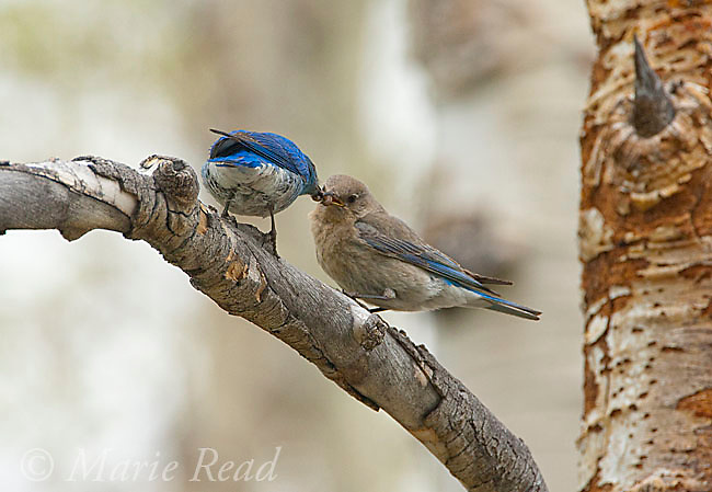Mountain Bluebird (Sialis currucoides), male (L) feeding female (R) near their nest, Mono Lake Basin, California, USA