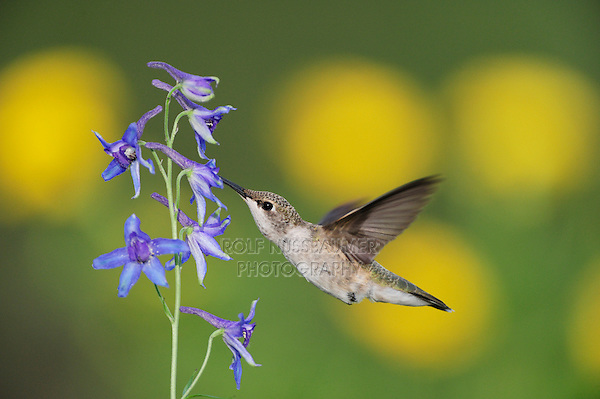 Black-chinned Hummingbird (Archilochus alexandri), female in flight feeding on Larkspur (Delphinium sp.), Gila National Forest, New Mexico, USA