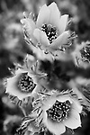 A black and white rendition of a trio of Pasque flowers.