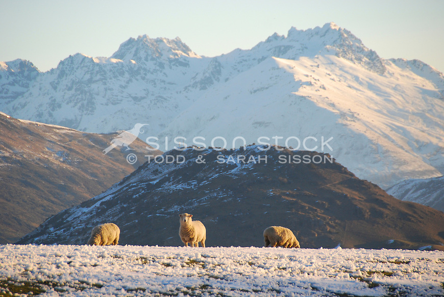 Sheep grazing in winter, snow covered ground, mountains, South Island, New Zealand