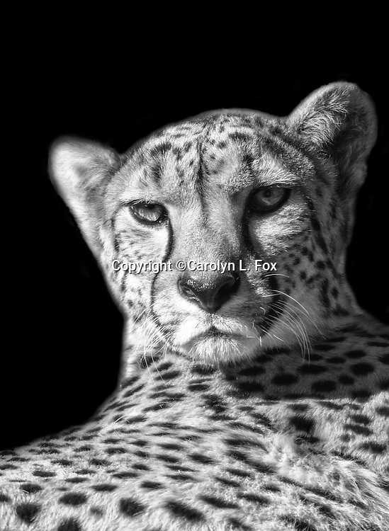 This cheetah picture has been converted to black and white.