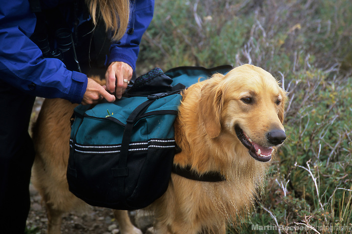 Golden retriever getting her pack adjusted, Sangre de Cristo Wilderness, San Isabel National Forest, Colorado