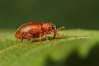 Roter Ulmen-Springrüssler, Orchestes betuleti, Rhynchaenus rufus, Rynchaenus rufus