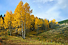 Grove of Aspen trees in Autumn, Poncha Pass, Colorado, USA.