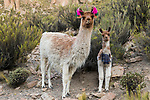 Llama (Lama glama) mother and cria, Abra Granada, Andes, northwestern Argentina