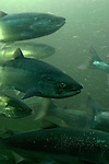Sockeye salmon, Seattle, Oncorhynchus nerka; annual spawning migration through Hiram Chittenden Locks, Ballard neighborhood,.