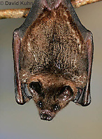 0211-08qq  Seba's Short-tailed Bat, Carollia perspicillata © David Kuhn/Dwight Kuhn Photography