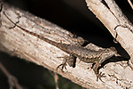 Rose Canyon, San Diego, California; a Western Fench Lizard warming itself in the late afternoon sunshine on a tree branch