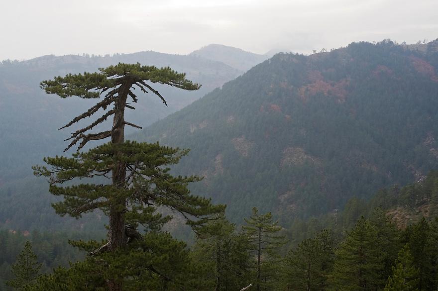 Greece, Pindos Mountains, Pindos NP, Valia Calda, Black Pine trees on top of the hill