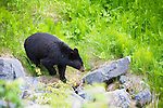 A black bear along the side of the road on The Icefields Parkway, Highway 93 north, is a scenic road in Alberta, Canada. It parallels the Continental Divide, traversing the rugged landscape of the Canadian Rockies, travelling through Banff National Park and Jasper National Park. It links Lake Louise with Jasper to the north.