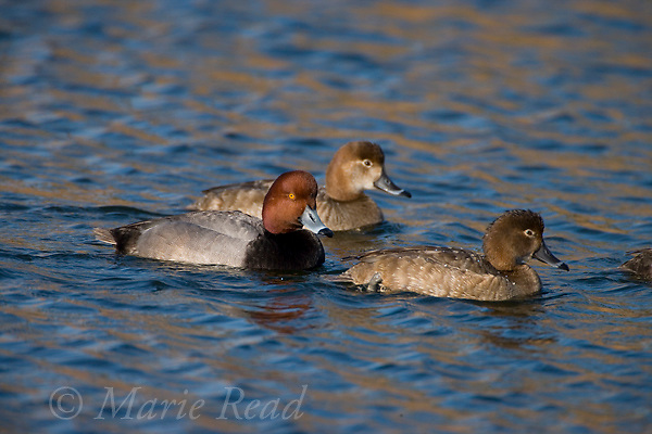 Redheads (Aythya americana), male in breeding plumage with two females, Bolsa Chica Ecological Reserve, California, USA