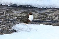 Wasseramsel, im Winter bei Schnee und Eis an einem eisfreien Bach, Wintergast aus Skandinavien in Schleswig-Holstein, Wasser-Amsel, Cinclus cinclus, dipper, white-throated dipper