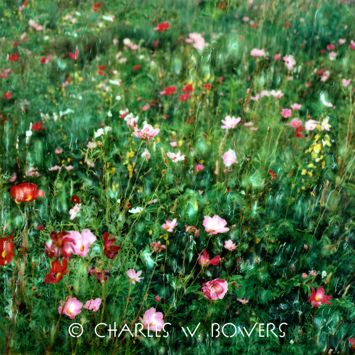 Cosmos cacophony swells your spirits on a bright summer's day in the praire. Sweeps of varied colors move gentlly in breeze. Enjoy the feeling.<br /> <br /> -Limited Edition of 50 Prints