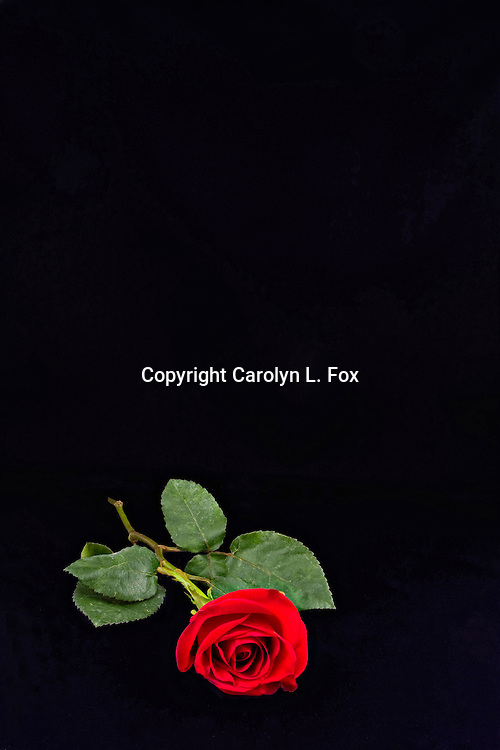 A single red rose lays on a black background. This would be perfect for a book cover or an ad.
