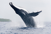 humpback whale, Megaptera novaeangliae, Kingdom of Tonga, South Pacific Ocean