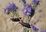 blister beetles on phacelia
