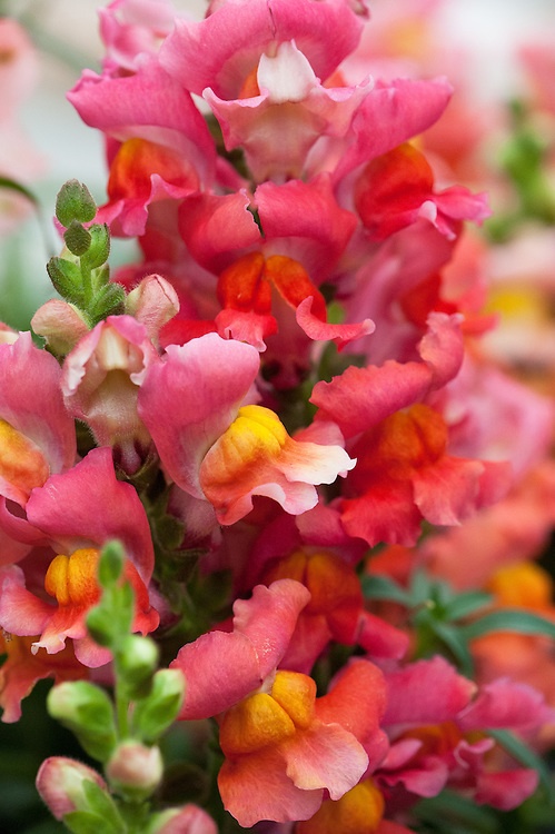 Antirrhinum majus 'Liberty Classic Bronze', early July,