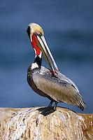Brown Pelican - Pelecanus occidentalis - Adult breeding