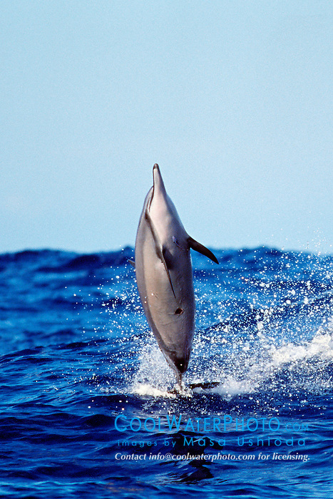 spinner dolphin, Stenella longirostris, .leaping out of large swell, note fresh .cookiecutter shark wound on belly, .Isistius brasiliensis, Kona, Big Island, Hawaii (Pacific).