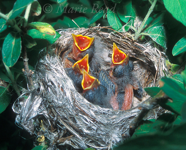 Yellow Warbler (Dendroica petechia) nestlings begging in nest. Shows pin feathers (feathers still enclosed in sheaths). New York, USA<br /> Slide # B161-90 Cropped from original.